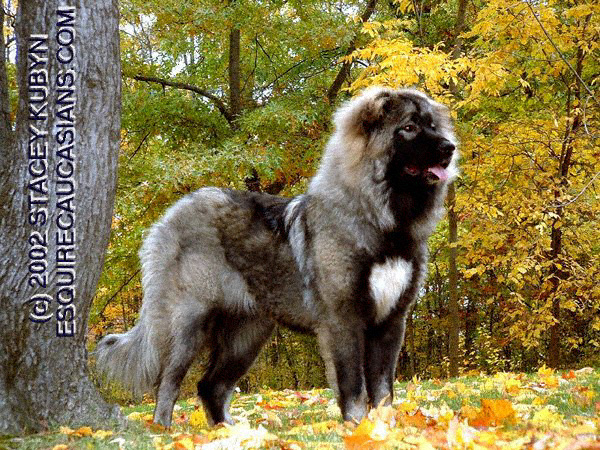 What do you know about Estrela Mountain Dog? - The Nihon Ken Forum ... Leonberger Attack