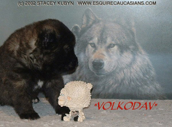 Volkodav Dog http://esquirecaucasians.com/photos/showphoto.php?photo=121&sort=1