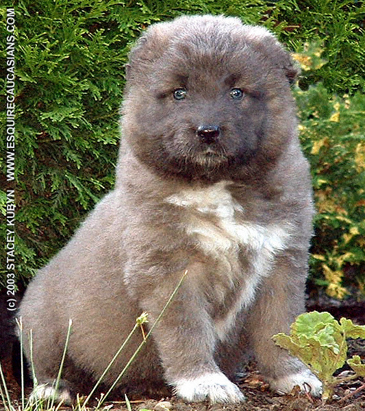 dogbreeds  C  Caucasian Mountain Dog  Page 1
